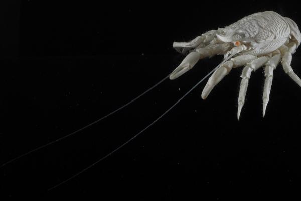 1660-galatheidae-pinca-fina-vista-perfil-abdome-dobrado-longeBE8336CE-D193-D0BF-8B5B-A0424BD08B0A.jpg